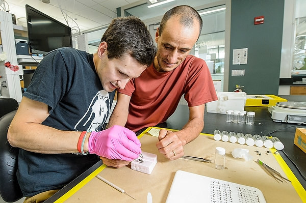 Graduate student Jeremy Hemberger (L) & Claudio Gratton (R), professor of entomology, attach small RFID tags to bumblebees